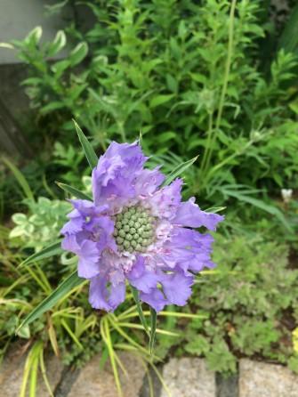 スカビオサ このつぼみと花びらのバランスが好き